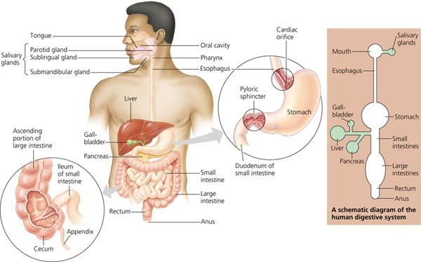 Mcqs data study notes past papers for exams page 4 of 7 human digestive system ccuart Image collections